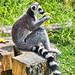 Noahs Ark - Lemur at lunch