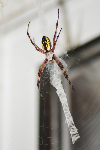 spider arachnisdeathicus spiderweb web colorful ararchnid animal bug blacksburgvirginia blacksburgva blacksburg virginia va nikond500 nikondigital 70300mm nikon d500 digital macro blackandyellowgardenspider argiopeaurantia gardenspider arachnid