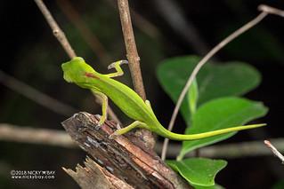 Perinet chameleon (Calumma gastrotaenia) - DSC_8828