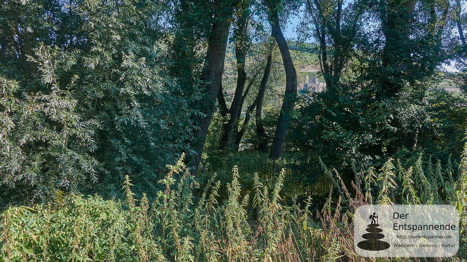 Am Rhein, Blick auf Burg Ehrenfels