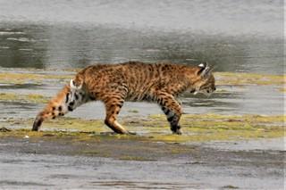 Lynx rufus californicus Bobcat #7