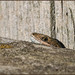 Common Lizard (image 1 of 2) by Full Moon Images