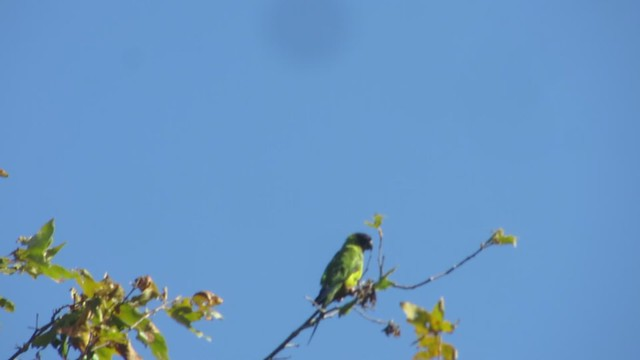 lone parrot