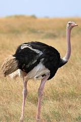 Common ostrich