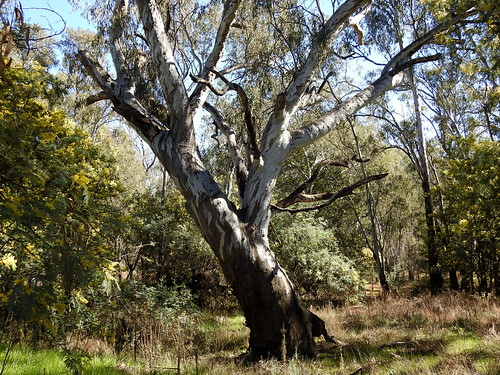 The old red gum