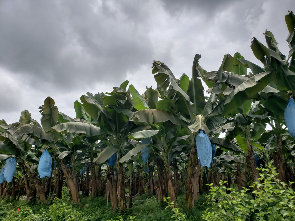 Banana Farm In Costa Rica They Apply Fungicide Sprays