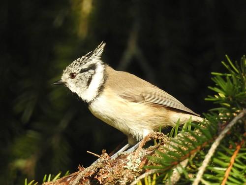 crestedtit lophophanescristatus haubenmeise tutttihane bird p900 nikoncoolpixp900