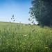 ....Sutton, Macclesfield, UK.. ..wildflowers ignore boundaries...