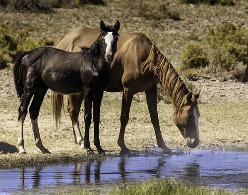 america mojavedesert southwest usa alkalispringsnevada animal desert goldfield wildanimal wildlife horse wild mustang drink
