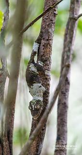 Mossy leaf-tailed gecko (Uroplatus sikorae) - DSC_8408