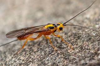 Braconid wasp (cf. Neohelcon sp.) - DSC_0656