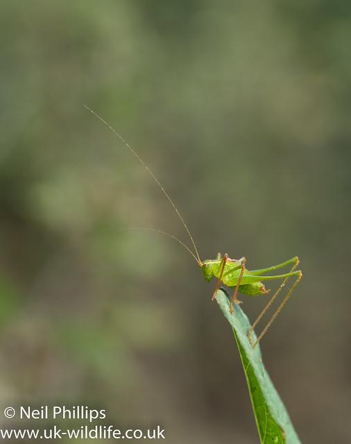 speckled bush cricket-7