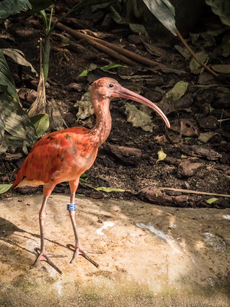 L'ibis rouge... 44530041782_5575c86210_b