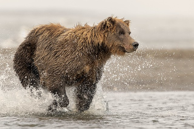 Coastal brown bear charging, Canon EOS-1D X MARK II, Canon EF 600mm f/4.0L IS II USM