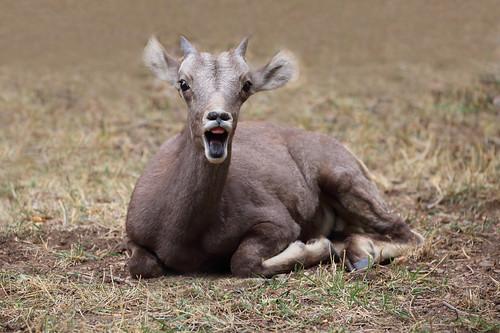 Baby Rocky Mountain Bighorn Sheep