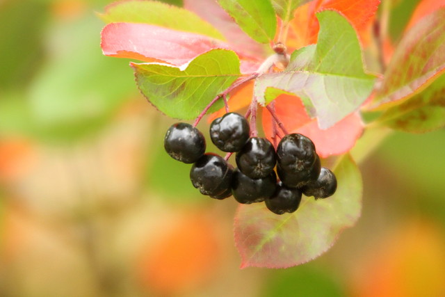 Aronia and autumn colors.., Canon EOS 700D, Canon EF 70-300mm f/4.5-5.6 DO IS USM