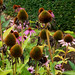 Echinacea seed head