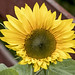 Finally - Our Sunflower has Bloomed