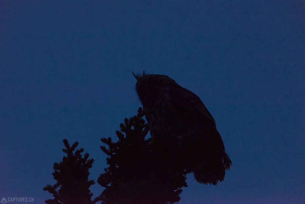Gray owl contour - Alaska