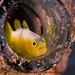 Dinah's Goby- Fish if the Ryukyu Islands by Okinawa Nature Photography