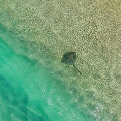 Lying still below the shore break this #ray wasn't too bothered with what was going on around. I spotted him sitting in the shallows as I was returning to land with limited battery remaining. Only enough time for a quick snap. #minjerribah #Straddieis #re