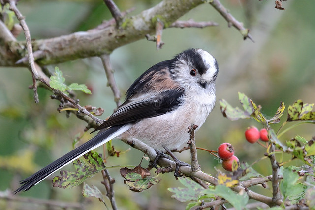 Long-tailed Tit North Norfolk, Nikon D800, Sigma APO 500mm F4.5 EX HSM