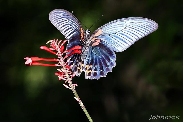 藍鳳蝶-2