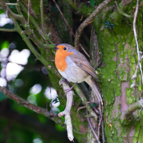Noisy robin, Bridgnorth