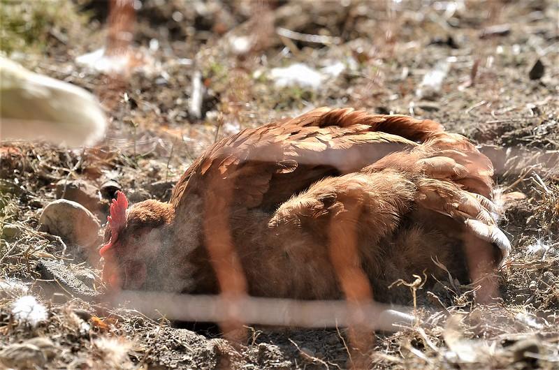 Chickens 08.09 (2)