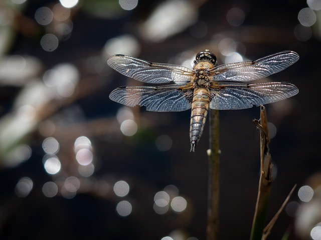 Four_Spotted_Chaser