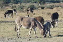 Equus africanus asinus (Donkey)