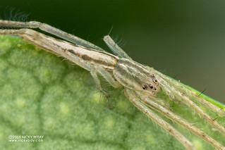 Pisaurid spider (cf. Pisauridae) - DSC_0168b