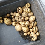 rocket potatos weighing 2.4 kg
