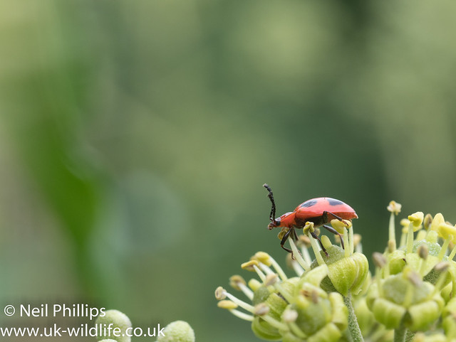 False Ladybird - Endomychus coccineus