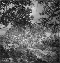 Arbutus on Jocelyn Hill - B&W