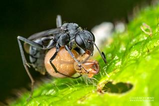 Spider wasp (Pompilidae) - DSC_2525