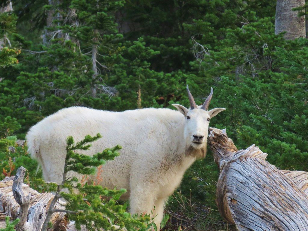 Mountain goat grazing near Lower Twin Lake
