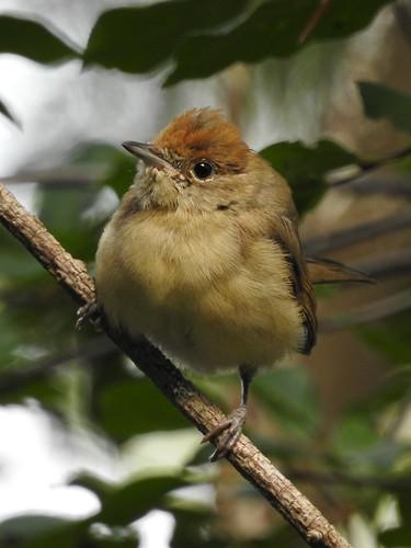 blackcap sylviaatricapilla mönchsgrasmücke mustpeapõõsalind bird p900 nikoncoolpixp900