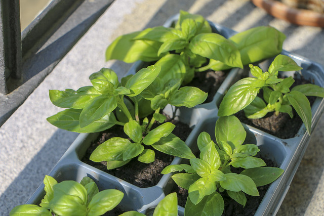 Basilikum Basil homegrown