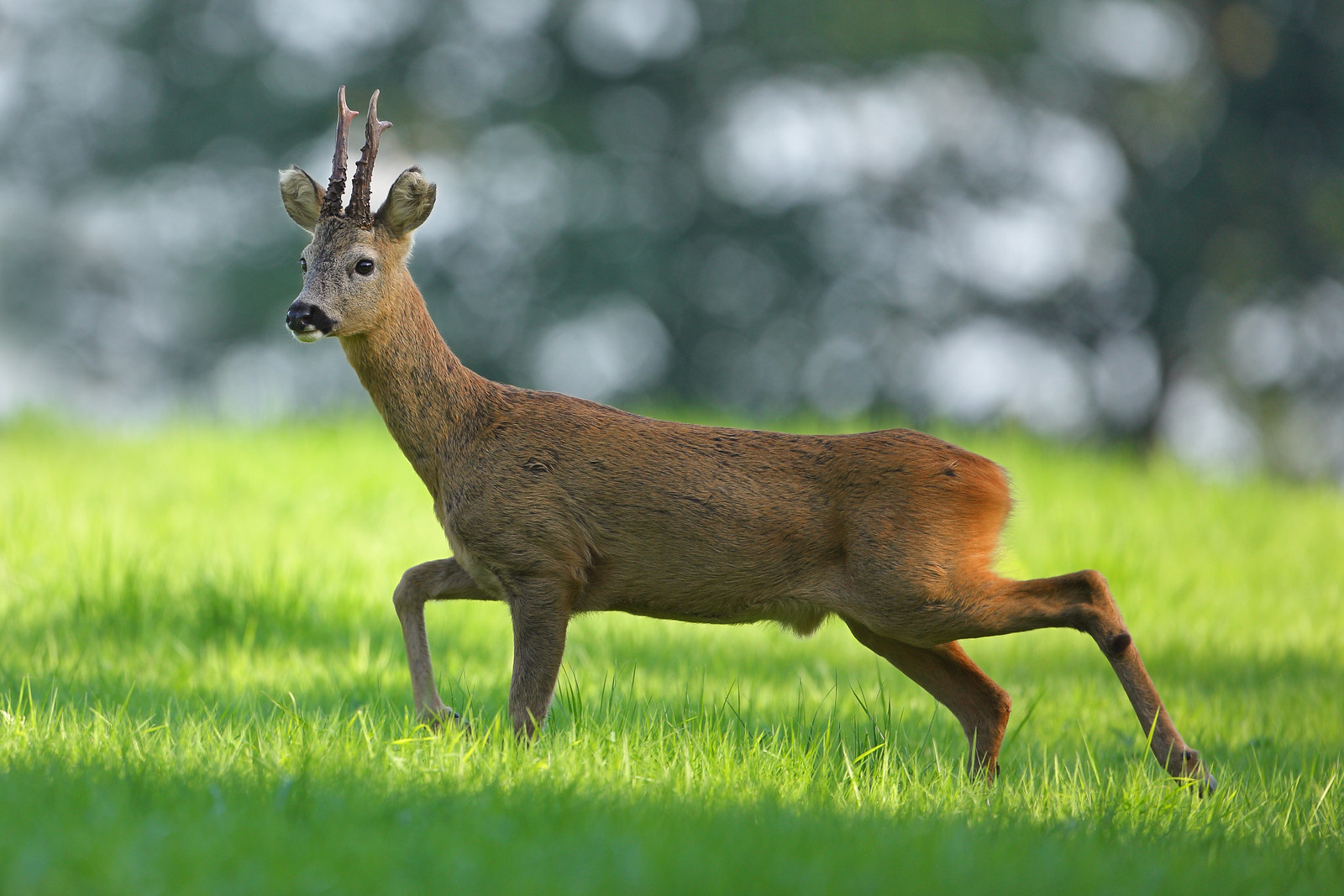 Roe Buck Walking