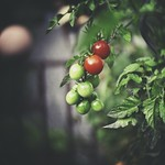 2018:08:31 17:02:19 - End of august garden tomatoes bokeh - c-mount
