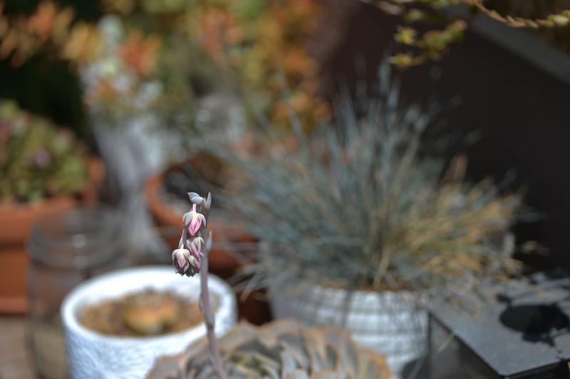 flowering echeveria