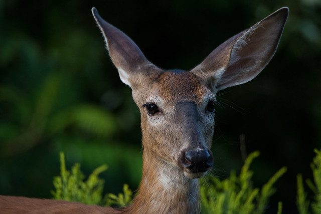 White Tailed Deer (f)
