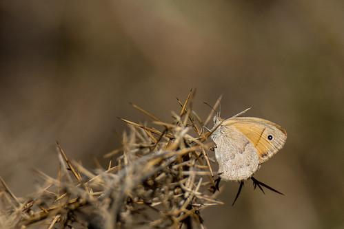 Southern gatekeeper - Pyronia cecilia - Zuidelijk oranje zandoogje