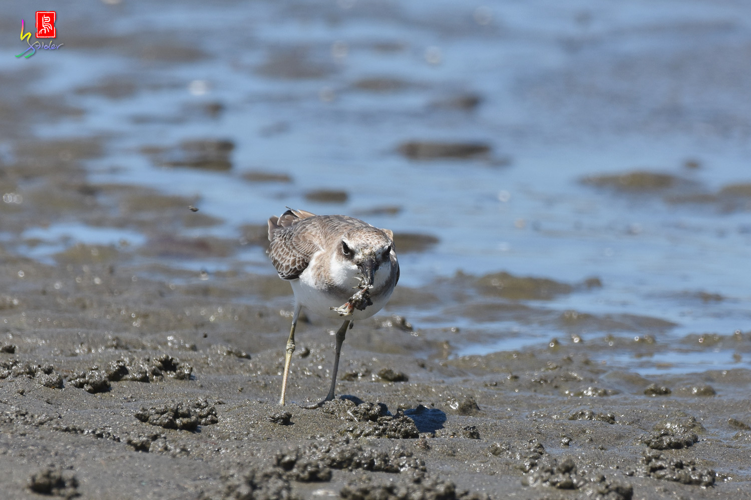 Greater_Sand_Plover_3062