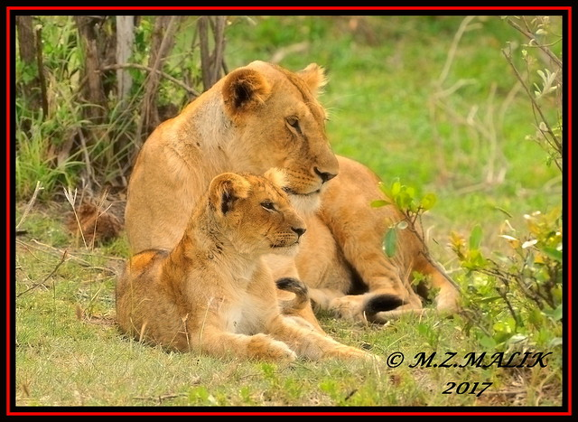 FEMALE LIONESS Panthera leo, Nikon D3X, AF-S VR Zoom-Nikkor 200-400mm f/4G IF-ED II