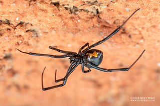 Black widow spider (Latrodectus sp.) - DSC_1199
