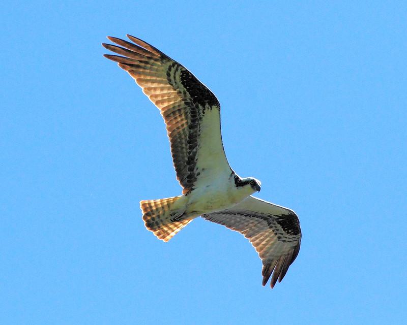 IMG_7271 Osprey over Cascade Lake
