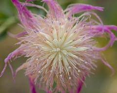 Knapweed Flower macro