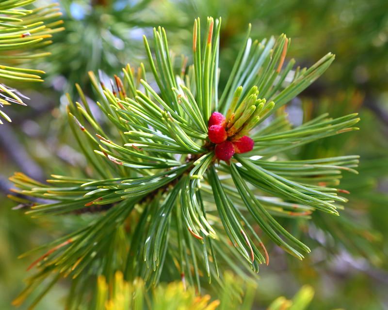 IMG_8848 Whitebark Pine